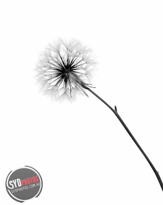 Dandelion, By Photographer Craig.Jewell, Created on 07 Apr 2011, SYDPHOTOS Photography all rights reserved.