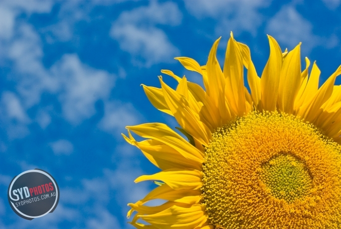 Sunflower and Cloudy Sky, By Photographer Craig.Jewell, Created on 07 Apr 2011, SYDPHOTOS Photography all rights reserved.